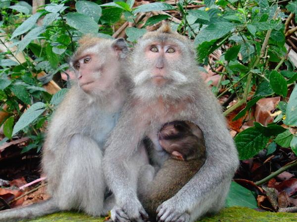 Лес обезьян bali